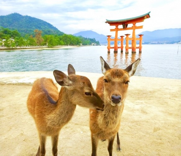 Miyajima Island torii floating gate and deer