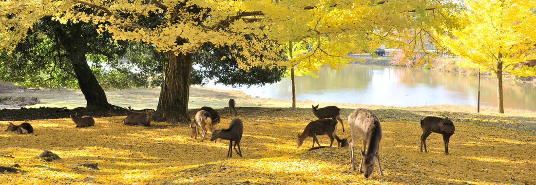 Deer and autumnal leaves in Nara Park, Japan